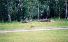 Dear roam natually along upen space along the 105 acres in Adirondack Airpark Estates